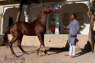 Marwari horse safari in Ranakpur, Jodhpur.