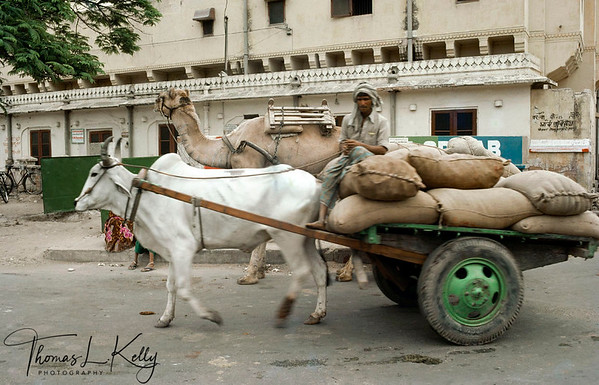 Bull-cart is used for hauling rudimentry needs. Domestic animals walking along with automobiles is a very usual scenic  seen in the street of Varanasi. Varanasi, India