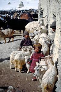 Zanskar village with kids engulfed by changra goats, providers of milk, cheese and valubale Kashmiri wool. Zanskar, India.