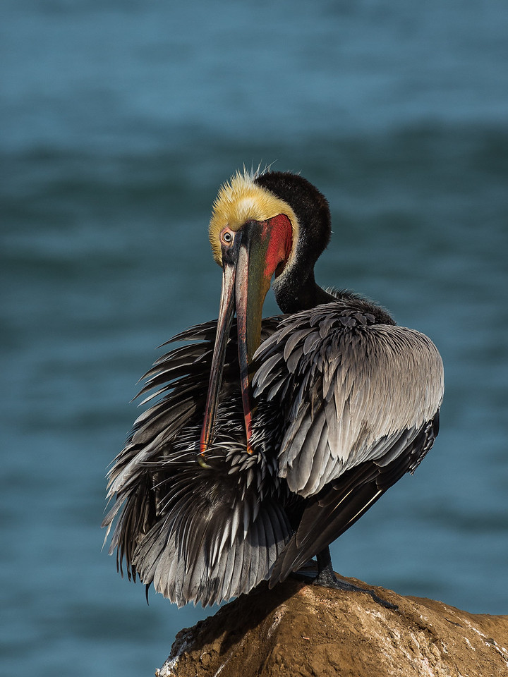 California Brown Pelican (Pelecanus occidentalis)