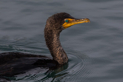Double Crested Cormorant (Phalacrocorax auritus)