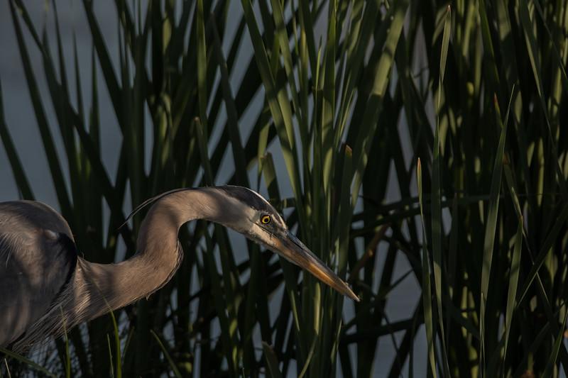 Great Blue Heron (Ardea herodias).