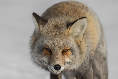 Dark color variant of a red fox (Vulpes vulpes).