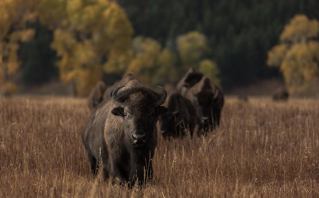 Autumn's Prairie Bison
