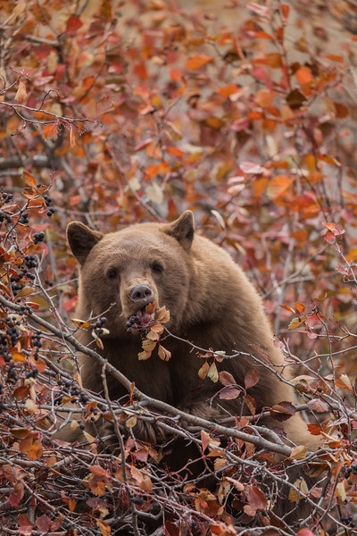 Black Bear and Hawthorn Berries