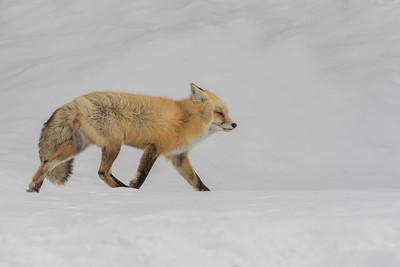 Wind Swept Winter Red Fox