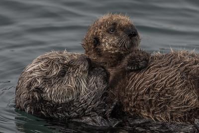 Sea Otter and Offspring
