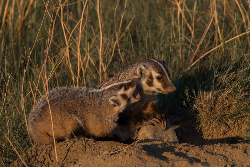 Badger Sow and Cub
