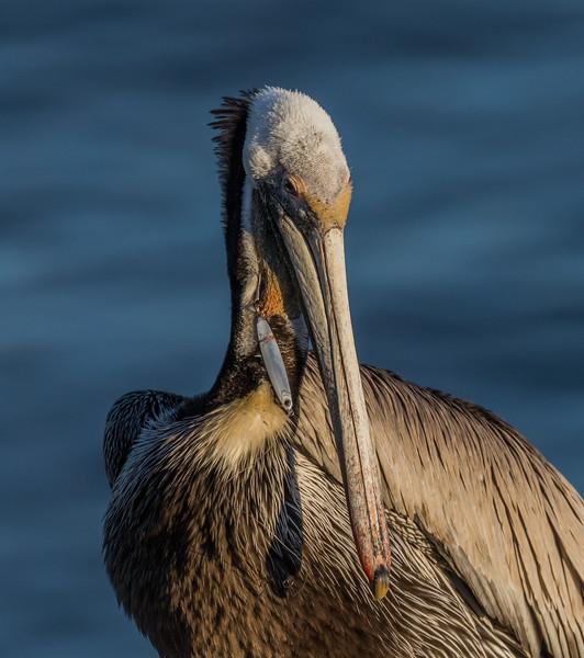Fishing Lure Impaled California Brown Pelican at La Jolla California 2018