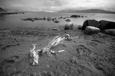 Sheep Skeleton, Isle of Islay, Scotland. 2013