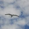 Herring Gull  [Larus argentatus]