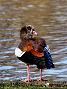 Goose in St James Park