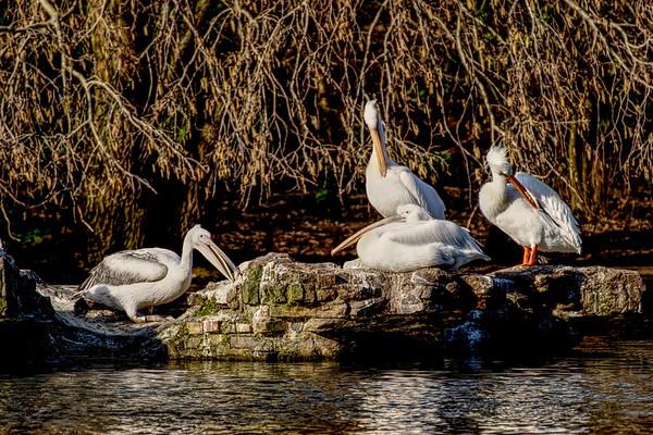 Pelicans in St James Park