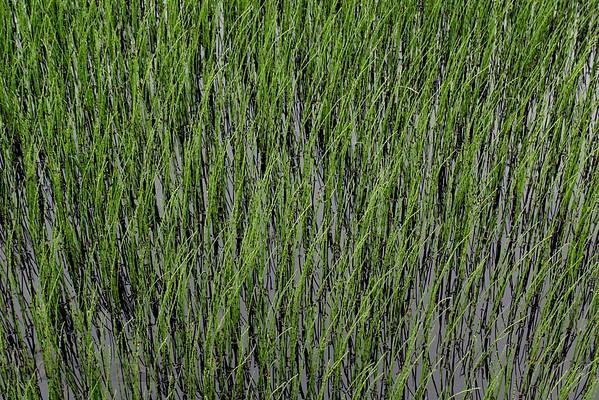 Grass in Llyn Brenig