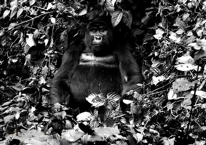 Mountain Gorilla - Monochrome