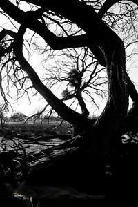 Curly Tree in Bushey Park