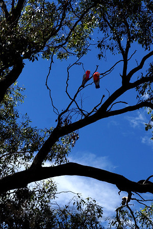 Lorikeets in a Tree