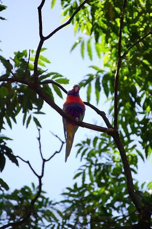 Sydney Botanical Gardens - Bird - Australia
