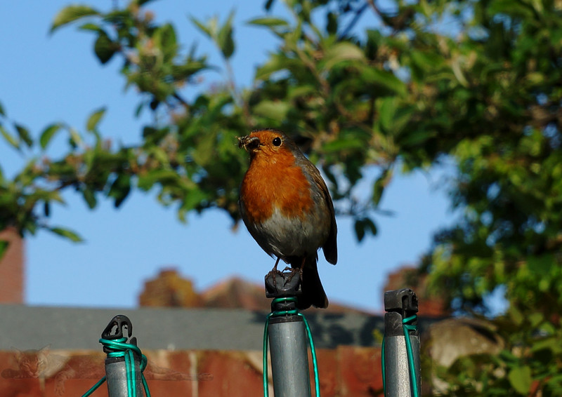 Robin Redbreast in the Garden