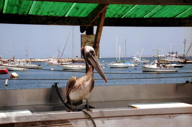 Brown Pelican - California