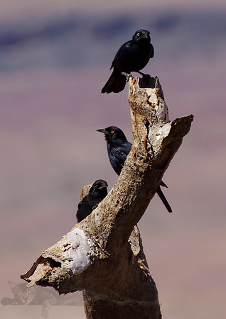 Pale Winged Starlings - FIsh River Canyon - Namibia