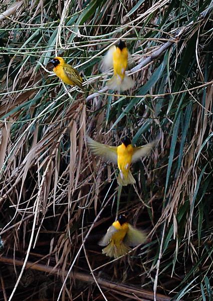 Southern Masked Weaver Birds