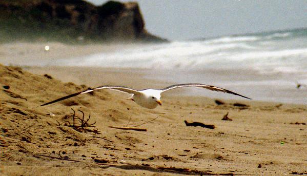 Seagull - California