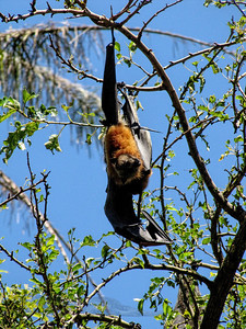 A Fruit Bat in Sydney Botanical Gardens
