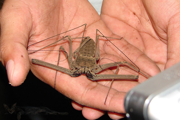Tailess Whip Scorpion - Thailand