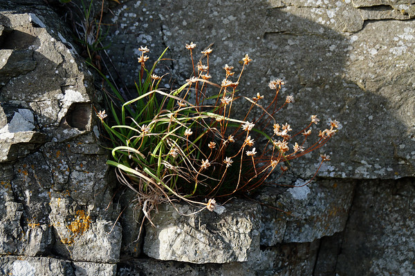 Flower in the Rock - Rousay