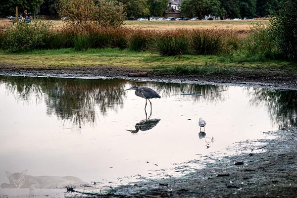 Wimbledon Common - Rushmere - Heron