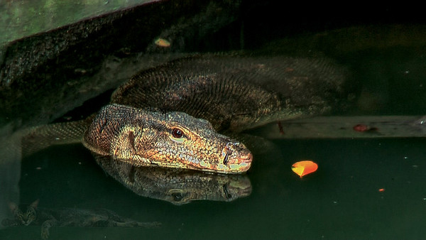 Melaka - Monitor Lizard - Malaysia
