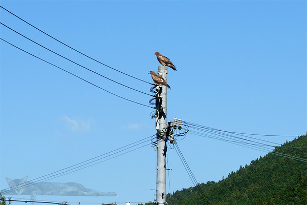 Rough Legged Buzzards on a Pole - Kumano Kodo