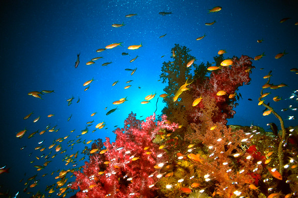 Haremsfahnenbarsche und Korallenriff, Sudan, Rotes Meer / Harem Flag Basslet and coral reef, Sudan, Red Sea, Pseudanthias squamipinnis,