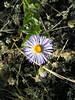 13. This little blue one is an aster.
