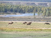 2. A bull elk directs his cows to huddle up a little closer. The Snake River in the background.