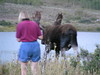 12. A twilight picture of a group of folks that were crowding and bull moose and his cow. This lady was NUTS to be so close.