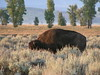 17. Bison on Antelope Flats Road.