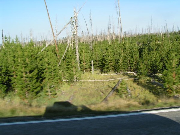 1. In late August, I drove up to Yellowstone, via the south entrance. The effects of the fires of '88 are still easily visible. None of these lodgepole pine trees are older than 19 years.