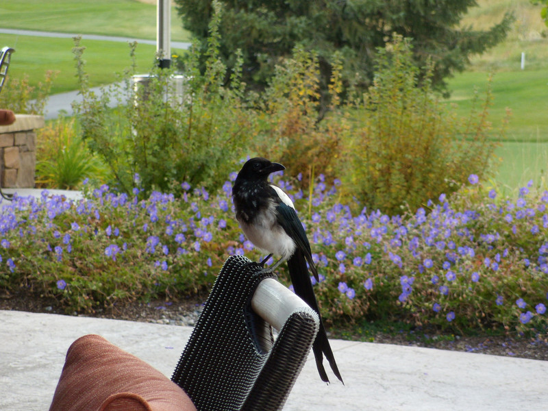1. Jackson Hole Golf and Country Club was the scene of the party. Mike and Wendy Evenson, and Ann Turner did a grand job of setting it up. They even arranged for this Magpie to pose for me.