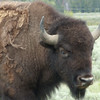 2.This old bull is still shedding his winter coat.