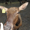4. One of the cow elks will eat from your hand, if you have grain...