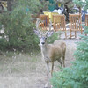 6. A small buck mule deer wondered thru the other day.