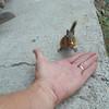 12. Chipmunk taking a peanut outta my hand.
