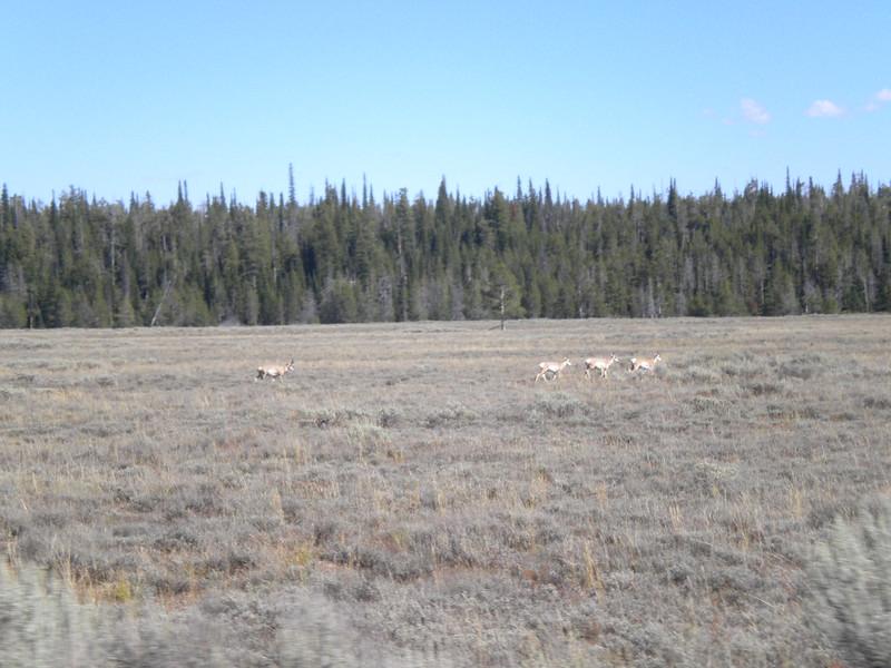 1. Driving down the inner loop road towards Moose, we passed a few Pronghorn.