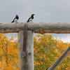 17. Magpies guarding the entrance into Teton Valley Ranch. These big birds are scavengers.