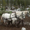 5. Here's Jim and Dandy early in the season, helping to feed out the hay in the muddy lot.