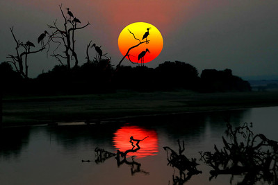 MARABOU STORKS AT SUNSET