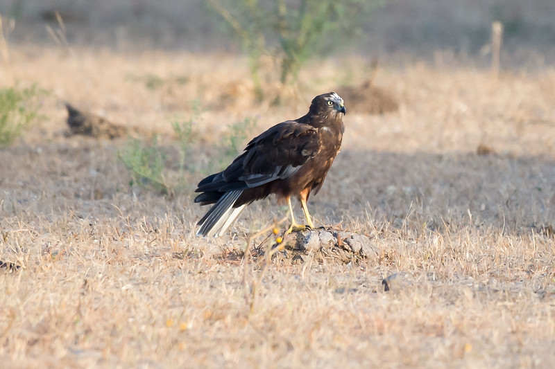 Eurasian Marsh Harrier (sub-adult)