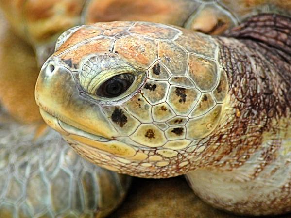 Tobago Cays Marine Park. Green turtle.